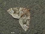 Eulithis prunata (Dunkelbrauner Haarbüschelspanner) / CH VS Goppenstein Bhf. 1216 m,  27. 09. 2017