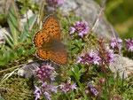 Brenthis ino (Violetter Silberfalter) / CH OW Alpnach Wängen 1600 m, 04. 07. 2017