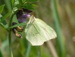 Gonepteryx rhamni (Zitronenfalter, Weibchen) / CH OW Giswil 483 m, 08. 05. 2014