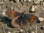 Erebia tyndarus (Schillernder Mohrenfalter) / CH TI Vergeletto Lago dei Salei 1924 m, 13. 09. 2013