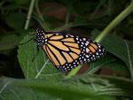 Danaus plexippus (Monarch) / CH FR Papiliorama Kerzers, 11. 05. 2009