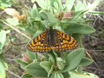 Melitaea phoebe (Flockenblumen-Scheckenfalter) / E Valencia, Segorbe, Almedijar, Parque Natural de la Sierra de l'Espadan 360 m