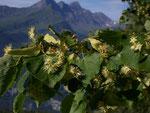 Tilia cordata (Winterlinde) / Tiliaceae