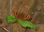 Pararge xiphioides (Kanaren-Waldbrettspiel, Weibchen) / Spanien Kan. Inseln La Gomera Epina Eremita Santa Clara 690 m, 27. 02. 2009