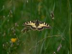 Papilio machaon (Schwalbenschwanz) / CH BE Hasliberg 1240 m, 17. 06. 2014