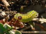 Polyommatus bellargus (Himmelblauer Bläuling) / CH BE Hasliberg 1180 m,  04. 04. 2016