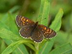 Melitaea diamina (Silber- oder Baldrian-Scheckenfalter, Weibchen) / CH NW Emmetten Zingel RIchtung Niederbauen 1250 m, 13. 06. 2014