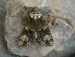 Craniophora ligustri (Liguster-Rindeneule) / CH BE Hasliberg 1240 m, 25. 04. 2014