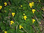 Viola biflora (Gelbes Bergveilchen) / Violaceae