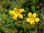 Hypericum perforatum (Tüpfel-Johanniskraut) / Hypericaceae