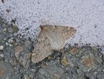 Alsophila aescularia (Frühlings-Kreuzflügel) / CH BE Hasliberg 1240 m, 16. 03. 2013
