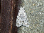 Acronicta psi (Pfeileule) / CH BE Hasliberg 1050 m,  19. 06. 2012