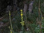 Verbascum thapsus (Kleinblütige Königskerze) / Scrophulariaceae