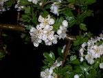 Crataegus monogyna (Eingriffliger Weissdorn) / Rosaceae