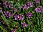 Thymus pulegioides (Thymian( / Lamiaceae