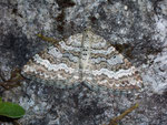 Epirrhoe molluginata (Graubrauner Labkrautspanner) / CH VS Oberwald Hungeralp Richtung Furkapass 2050 m, 27. 06. 2008