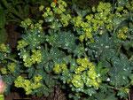 Alchemilla (Frauenmantel ) / Rosaceae