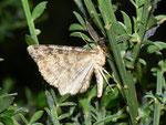 Deileptenia ribeata (Moosgrüner Rindenspanner, Männchen) CH TI Val Colla Bogno1100 m, 25. 07. 2011