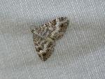 Epirrhoe molluginata (Graubrauner Labkrautspanner) / CH BE Hasliberg 1300 m, 22. 06. 2012