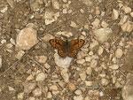 Lasiommata megera (Mauerfuchs, Männchen) / Frankreich Garrigue bei Nîmes 146 m, 01. 05. 2010