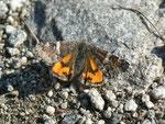 Archiearis parthenias (Birken-Jungfernkind, Weibchen) / CH TI Monti della Motta 1100 m, 14. 03. 2012