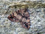 Hydriomena furcata (Heidelbeer-Palpenspanner) / CH VS Saastal, Mattmark-Stausee 2197 m, 11. 08. 2011