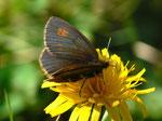 Erebia manto (Gelbgefleckter Mohrenfalter, Weibchen) / CH UR Isenthal 1690 m, 17. 08. 2011
