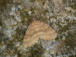 Operophtera brumata (Kleiner Frostspanner) / CH BE Hasliberg 1090 m, 08. 11. 2013
