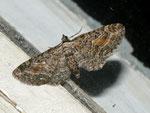 Eupithecia icterata / CH BE Hasliberg 1050 m, 02. 08. 2011