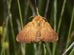 Malacosoma alpicola (Alpiner Ringelspinner, Weibchen) / CH BE Hohgant 1790 m, 30. 07. 2012