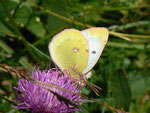 Colias alfacariensis (Hufeisenklee-Gelbling, Weibchen) / CH BE Hohgant 1830 m, 30. 07. 2012