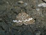 Perizoma affinitata (Dunkler Lichtnelken-Kapselspanner) / CH VD Vallon de Nant 1270 m, 15. 06. 2012
