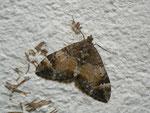 hloroclysta truncata (Möndchenflecken-Bindenspanner) / CH BE Hasliberg 1050 m, 26. 09. 2016