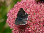 Polyommatus bellargus (Himmelblauer Bläuling, Weibchen) / CH BE Hasliberg 1050 m, 15. 09. 2014