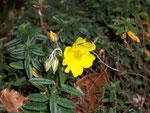 Helianthemum nummularium (Gewöhnliches Sonnenröschen) / Cistaceae