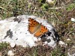 Nymphalis polychloros (Grosser Fuchs) / E Andalusien, Sierra de Segura, Puerto del Pinar, Barranco Ciervo 1300 m, 22. 04. 2012