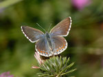 Polyommatus bellargus (Himmelblauer Bläuling, Weibchen) / CH BE Hasliberg 1150 m, 30. 06. 2013