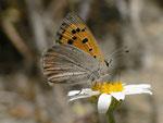 Lycaena phlaeas (Kleiner Feuerfalter) / E Andalusien, Granada-Lanjaròn-Pampaneira, Sierra Nevada Nationalpark, Alpujarra 1200 m, 26. 04. 2012