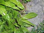 Euphydryas aurinia (Skabiosen-Scheckenfalter, Raupe auf Gentiana lutea) / CH VS Nufenenpass Lengtal 2100 m, 04. 07. 2008