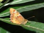 Pararge xiphioides (Kanaren-Waldbrettspiel) / Spanien, Kan. Inseln, Gran Canaria, Caldera de Bandama, 150 m