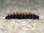 Macrothylacia rubi (Brombeerspinner, erwachsene Raupe dorsal) / CH BE Hasliberg 1180 m, 03. 09. 2015