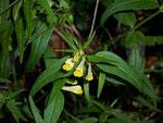 Melampyrum (Wachtelweizen) / Orobanchaceae