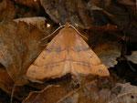 Colotois pennaria (Federspanner, Männchen) / CH TI Valle Morobbia, Carena 1000 m, 12. 11. 2013