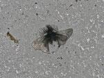 Ptilocephala plumifera (Fächerfühler-Sackträger) / CH VS Bratsch 950 m, 04. 03. 2013