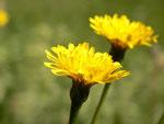 Hieracium (Habichtskraut) / Asteraceae