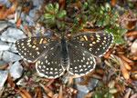 Melitaea diamina (Silber- oder Baldrian-Scheckenfalter, Weibchen) / CH BE Hasliberg 1100 m, 08. 05. 2011