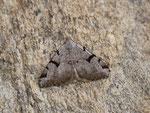 Macaria wauaria (Zuchtfalter) / CH FR Bas-Intyamon, Cuvigne Devant 1080 m, 07. 07. 2019