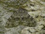 Entephria caesiata (Veränderlicher Gebirgs-Blattspanner) / CH UR Realp Steinbergen 1521 m, 02. 09. 2016