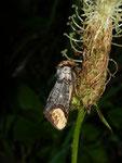 Phalera bucephala (Mondvogel) / CH BE Hasliberg 1130 m, 21. 06. 2016