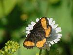 Psodos quadrifaria (Gelbgebänderter Flachstirnspanner) / CH FR Vallée des Morteys 1600 m, 05. 07. 2013